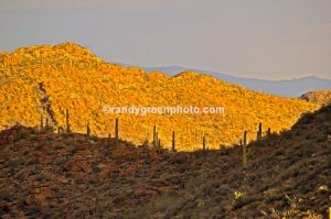 Saguaro cactus in Saguaro National Park, AZ.