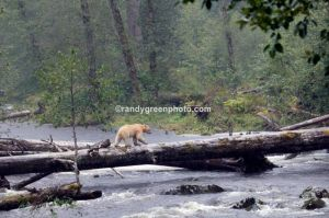 Kermode bear, or spirit bear (Ursus americanus) on a remote stream in northern British Columbia, Canada, near Princess Royal Island. This bear is a white,non-albino, variation of the common black bear which lives exclusively in this isolated area. The surrounding area is one of the largest stretches of temperate rainforest in the world.