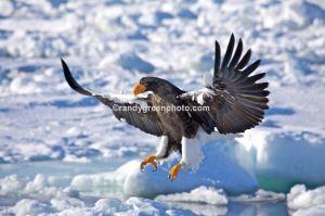 Stellers sea eagle, Hokkaido, Japan